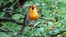 One Hour Relaxing Birdsong European Robin
