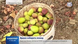 Сезон уборки инжира в разгаре в Крыму