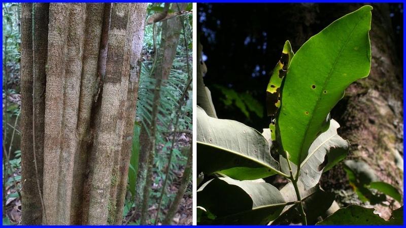 Remo Caspi Planta Medicinal Para Que Sirve - Aspidosperma Excelsum
