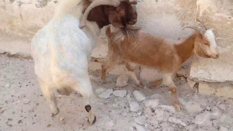 اجمل عرض لمزارع تهجين ماعزالبورBoer Goat