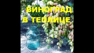 Виноград в теплице. В гостях у соседа-виноградаря Эльдара. Телефон для связи: +79787058260