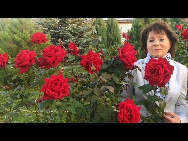 Пышно цветущие Розы до снега для Средней Полосы Супер Гранд Аморе Розариум Ютерсен Гольдельзе