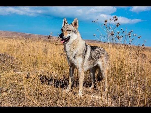 Чехословацкая волчья собака / Чехословацкий влчак