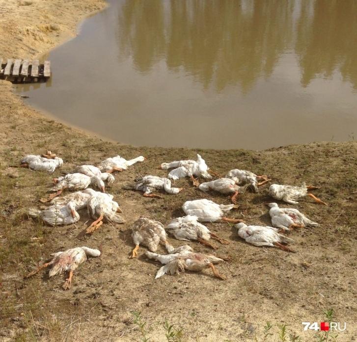 «За пять минут 50 гусей перегрызла»: челябинский охотник, застреливший хаски, рассказал свою версию