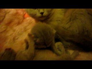 Мои шотландские котятки-2)