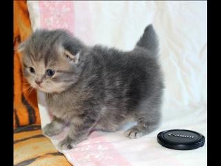 Продаются шотландские вислоухие котята :)