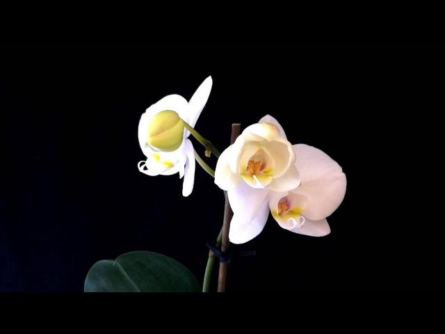 Орхідеї розпускаються квіти Цветы распускаются