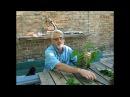 Шелковица - черенкование летом
