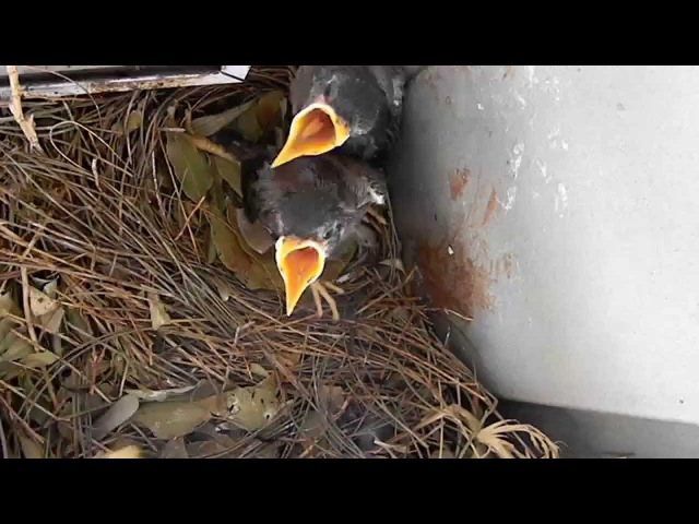 The Family of the Indian Mynas