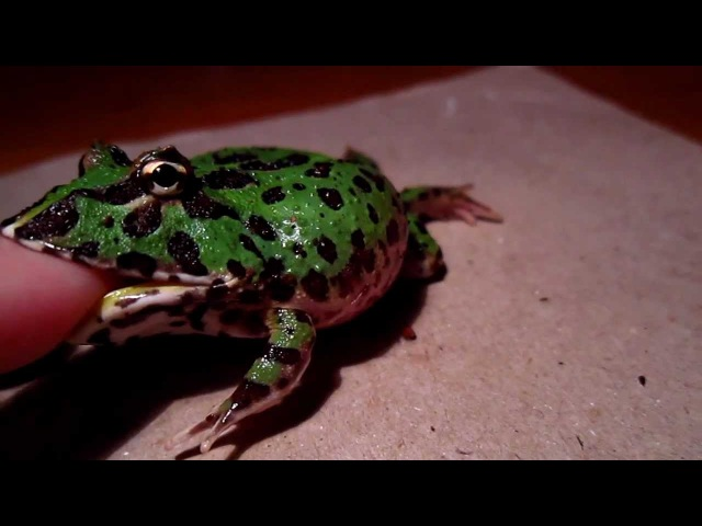 Angry Little Pacman Frog