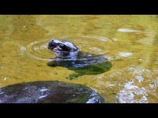 Pygmy Hippo baby makes a splash