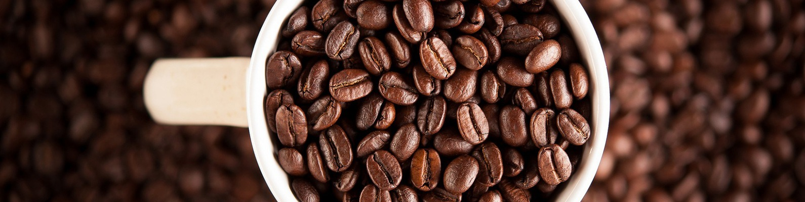 Arabica coffee plant for sale