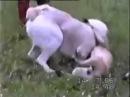 Собачий бой Алабай vs Питбуль