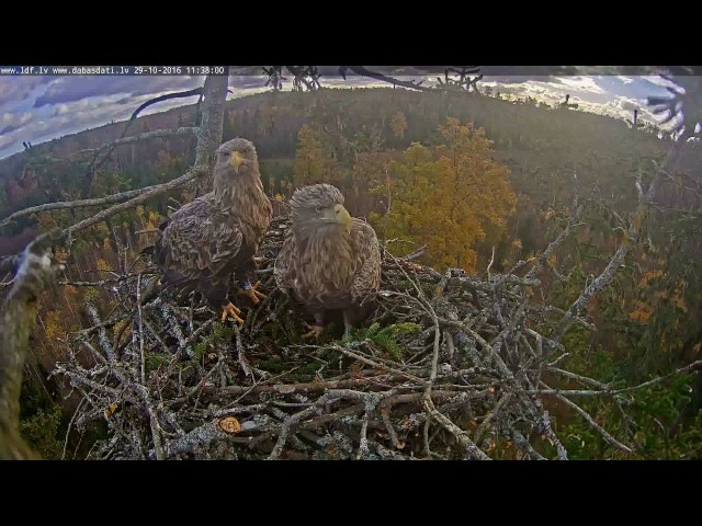 Latvian WTEs ~ Unexpected shot startled the eagles. 2016-10-29 1138
