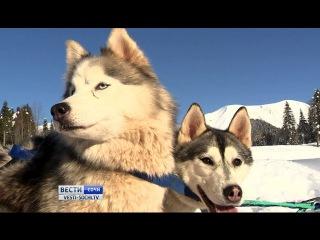 Хаски станут главной диковинкой нынешнего зимнего сезона в Сочи