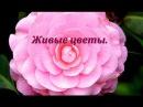 Цветы - подарок небес. Посмотри, как распускаются цветы.Красота