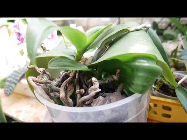 Орхидея делёнка - а детки уже подросли.