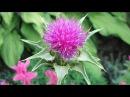 Главное растение для печени Святой чертополох или расторопша