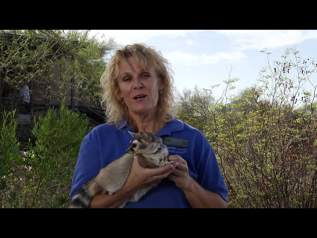 Североамериканский какомицли Ringtailed cat Bassariscus astutus