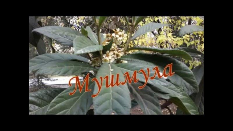 Mingechevir-Мингечаур - Мушмула