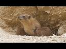 Капский даман Rock Hyrax Procavia capensis