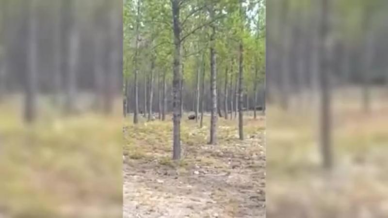Мужчина встретил в лесу черного волка во время прогулки с собакой