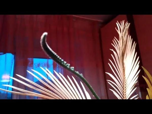 Цикас 2 Саговник Саговая пальма Молодая вайя Пожелтели старые листья