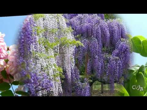 *** - Beautiful Acacias - *** ( Claude Choe - Love Is Just A Dream )