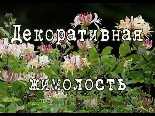 ЖИМОЛОСТЬ вьющаяся красиво цветущая древесная лиана Посадка и уход в саду