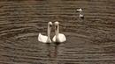 Что ВИЖУ то и СНИМАЮ Лебеди Чайки Набережная озера Водяная крыса best animal videos