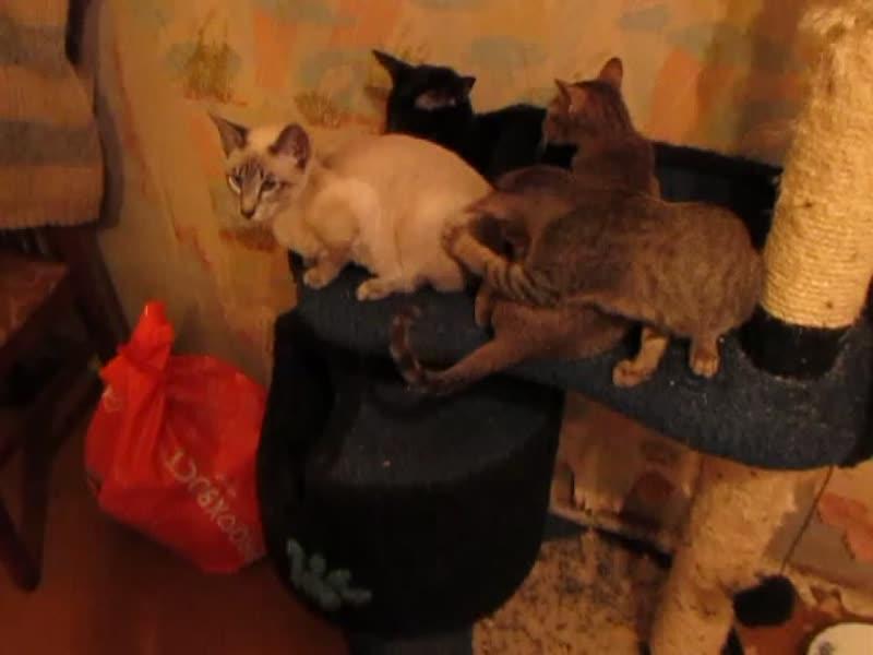 ориентальные котята на продажу