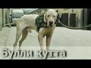 Булли кутта пакистанский мастиф - о породе собак