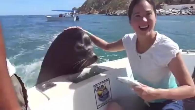 Amigable lobo marino pide comida
