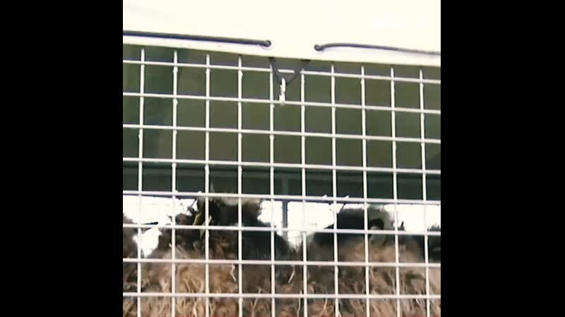 Овцы кихнуской породы совершили морское путешествие с острова Манилайд на материк