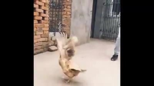 This is why chickens can't fly