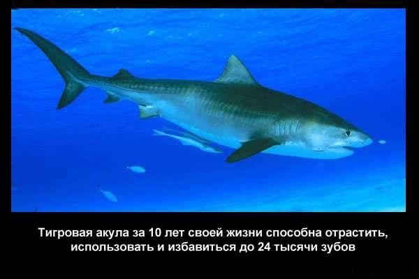 Valteya - Интересные факты о акулах / Хищники морей.(Видео. Фото) - Страница 2 Z0x-gnG-A2U