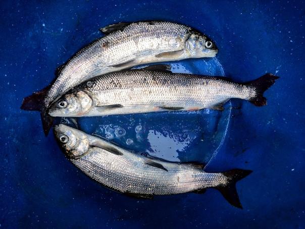 студент обязан сиг балтийский рыба фото один экологически