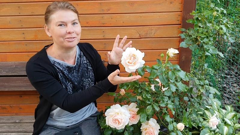 Чайно-гибридная роза Чандос Бьюти (Chandos Beauty), в моем саду