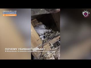 Мегаполис - Почему убивают собак - Излучинск