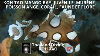 koh tao mango bay, juvénile, murène, poisson ange, corail, faune et flore et Thailand Diving Pattaya