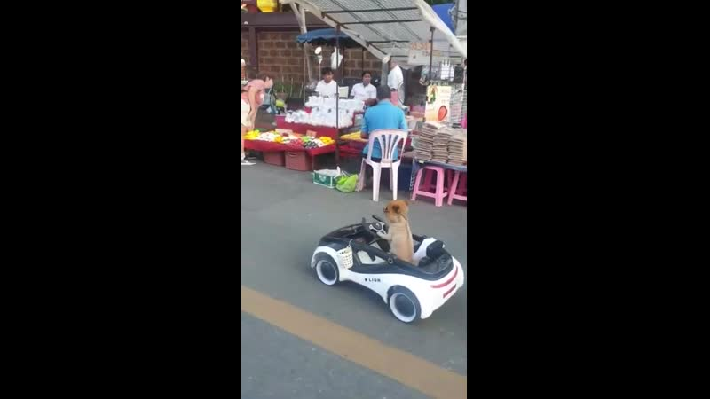 Canine Convertable Dog in Thailand Drives Miniature Car Through Market