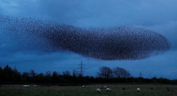 Мурмурация скворцов в вечернем небе. Деревня Гретна-Грин, Шотландия. Наши дни.