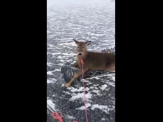 Канадец в одиночку спас семью оленей, застрявших на заледеневшем озере