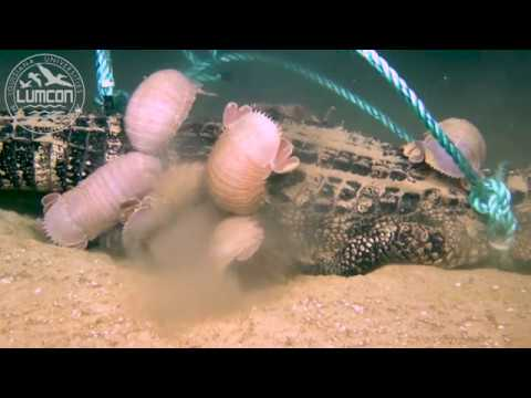 First-ever deep-sea alligator food fall