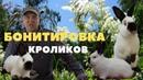 Взвешивание калифорнийских крольчат из многочисленных окролов Привес Бургундских кроликов