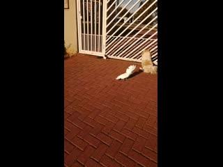 Barking bird guards the house like a dog viralhog