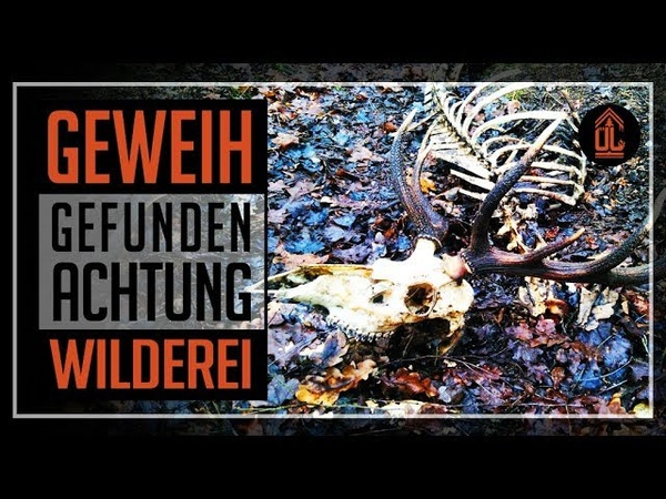 HIRSCHGEWEIH gefunden | Achtung Wilderei | Geweih | Abwurfstange | Rotwild | Hirsch | 12 Ender