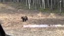Жесть Медведь Смотреть до конца