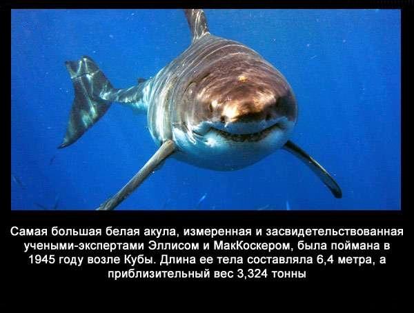 валтея - Интересные факты о акулах / Хищники морей.(Видео. Фото) R7fYbtZoxdk
