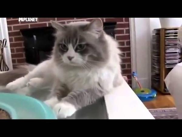 ▶ Сибирская породистая кошка